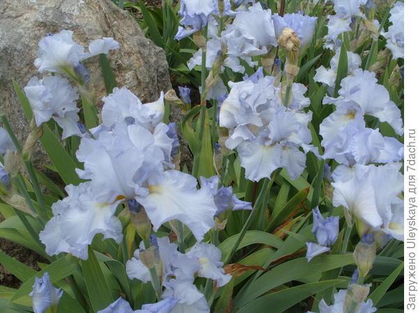 Цветет ирис сорт Blue Reflection