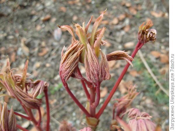 Древовидные пионы хорошо развиваются на известковых почвах