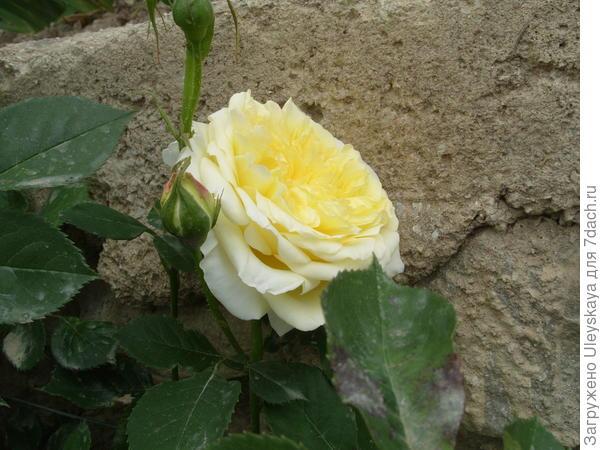 Романтическая роза сорт The Piligrim