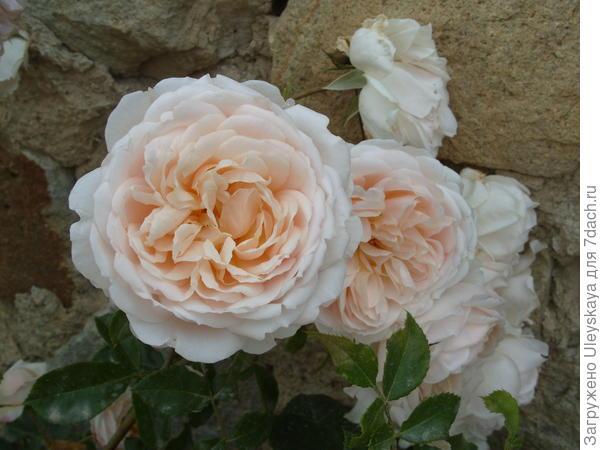 Романтическая роза сорт Mon Jardin et Ma Maison