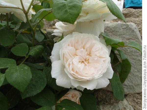 Романтическая роза сорт Winchester Cathedral