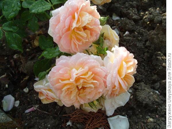 Романтическая роза сорт Concerto 94