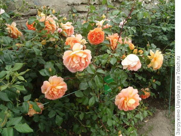 Цветут романтические розы