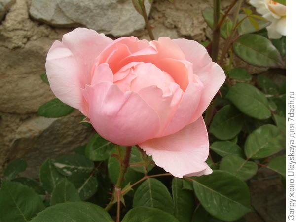 Романтическая роза сорт The Alnwick Rose