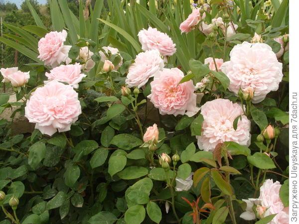 Романтическая роза сорт Eglantyne