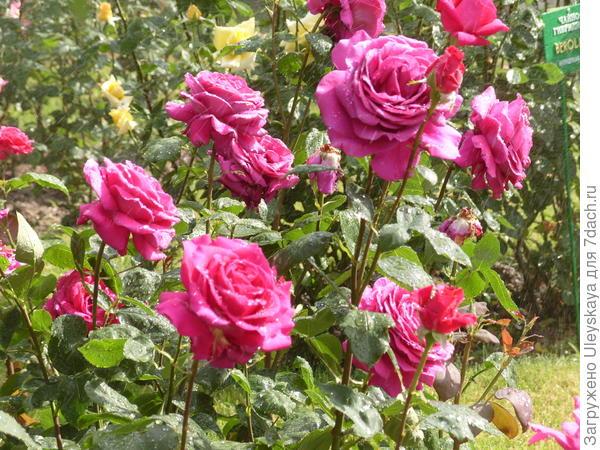 Цветут романтические розы, сорт Big Purple