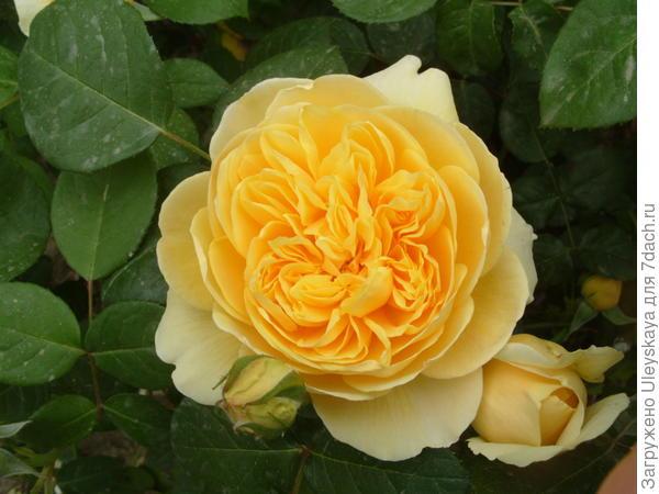 Романтическая роза сорт Charlotte