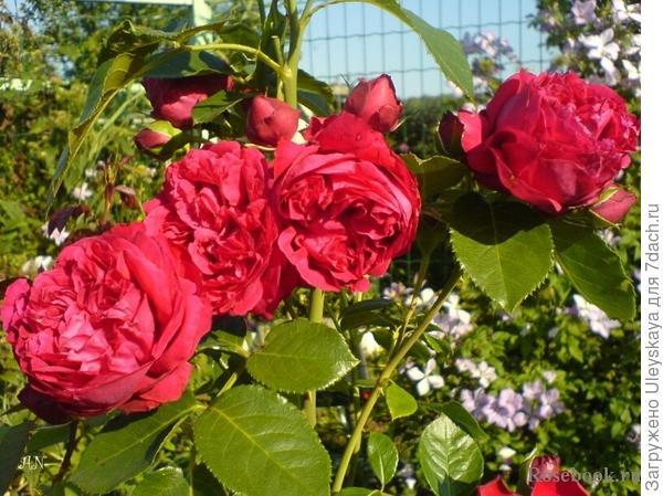 Романтическая роза сорт Eric Tabarly, фото сайта www.rosebook.ru