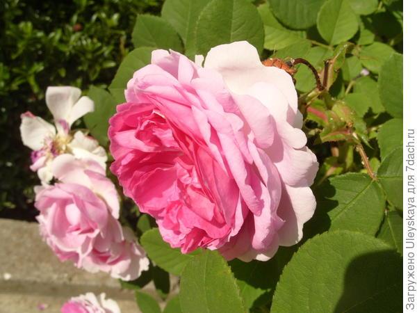 Романтическая роза сорт Honore de Balzac