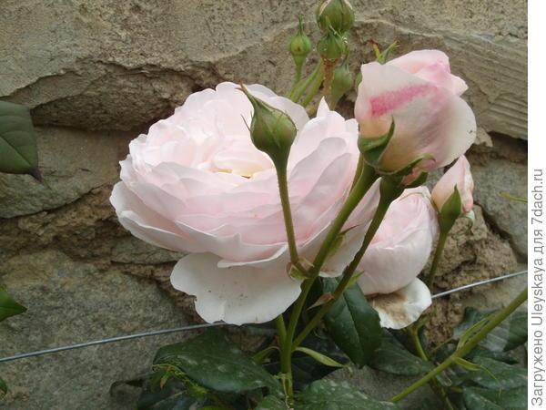 Романтическая роза сорт Heritage