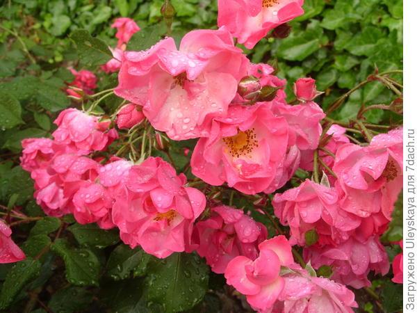 Романтическая роза сорт Детство