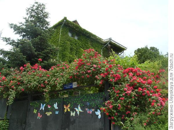 Пихта с розами