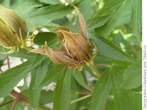 Гибискус гибридный в плодоношении