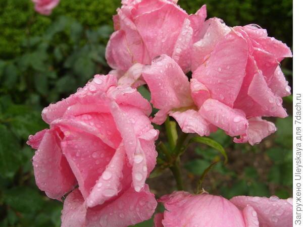 Роза грандифлора сорт Очарование