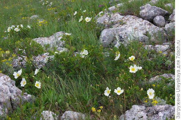 Цветет карликовый шиповник