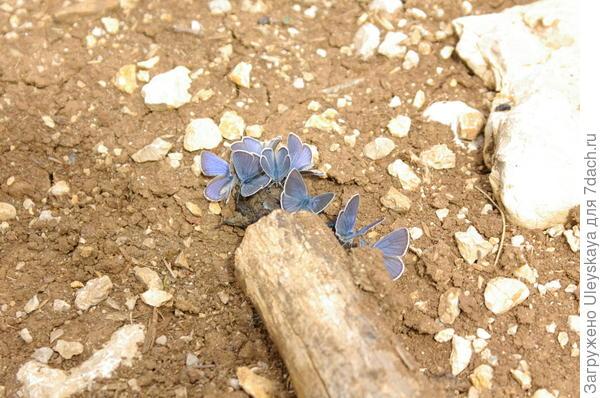 Бабочки на водопое