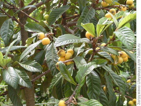 Мушмула японская в плодоношении у Мемета