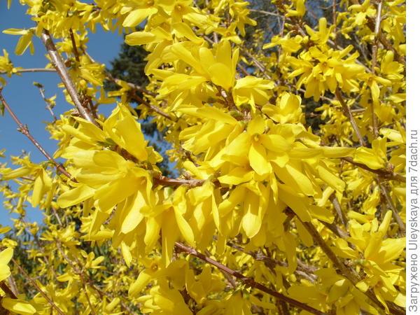 Форзиция промежуточная в цветении в марте