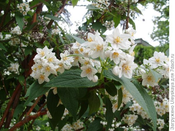 Дейция шершавая в цветении в мае