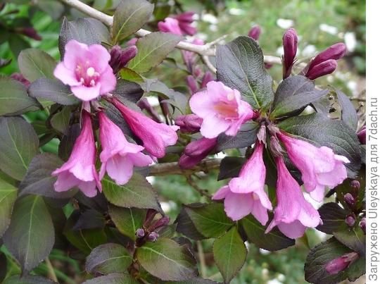 Вейгела цветущая Foliis Purpureis, фото сайта agrus.ua
