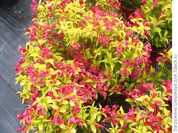 Weigela Briant Rubidor, фото сайта www.ontarioplantsource.com