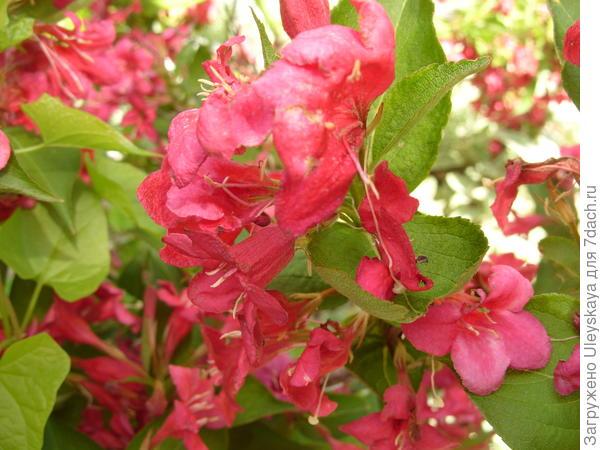 Вейгела цветущая Rubra