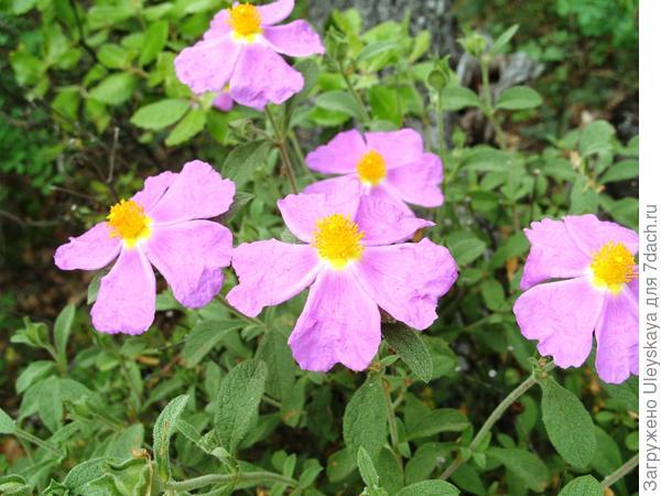 Цветет ладанник крымский