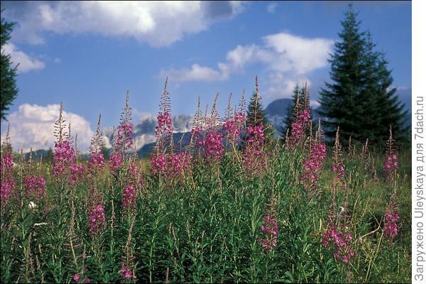 Иван-чай в природе, фото сайта calphotos.berkeley.edu