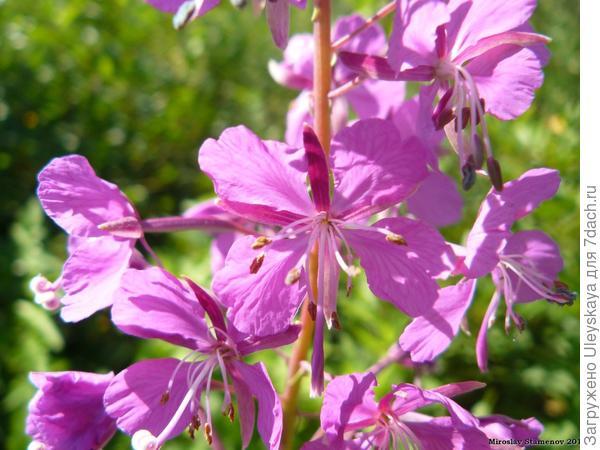 Хаменерион узколистный, фото сайта www.plantarium.ru