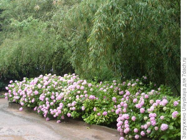 Гортензия крупнолистная под надежной защитой бамбука