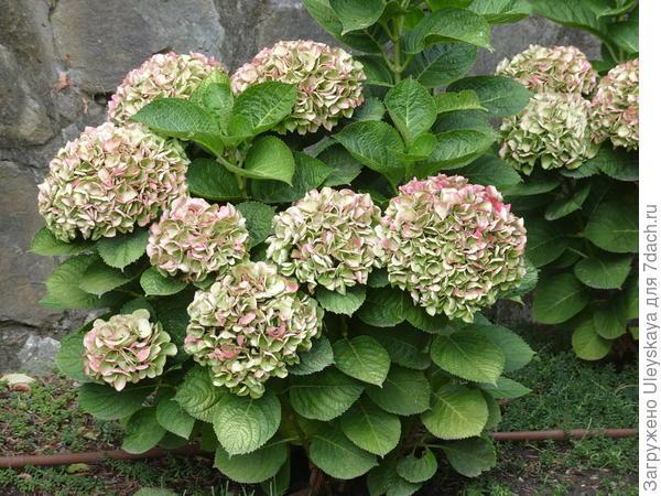 Гортензия крупнолистная или садовая уже отцвела, но все также прекрасна
