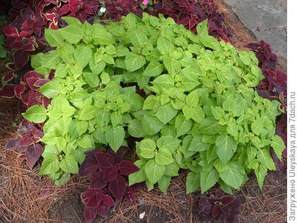 Колеусы легко узнать по знакомым крапивным листьям