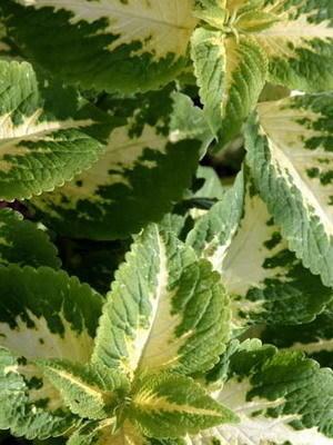 Колеус Блюме сорт Candidum, фото сайта orhide.ru