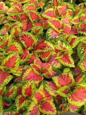Колеус Блюме сорт Salmon Lace фото сайта orhide.ru