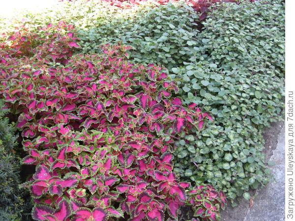 Колеусы и плектрантусы как почвопокровные растения