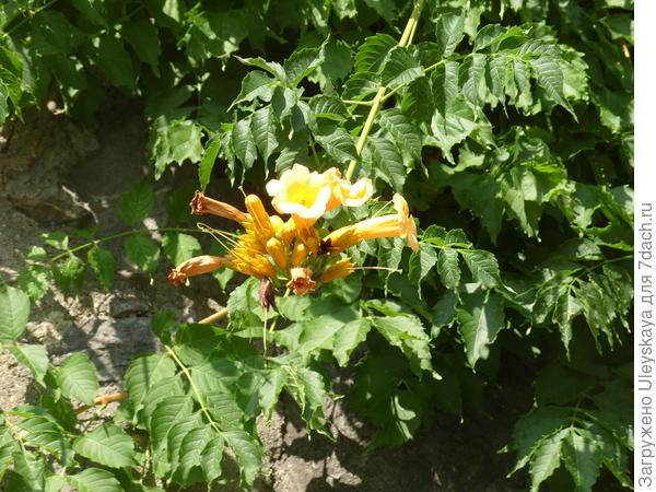 Кампсис укореняющийся желтоцветковый