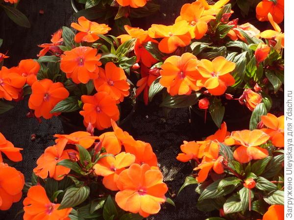 Цветет бальзамин новогвинейский