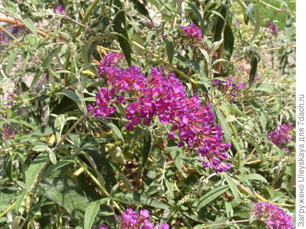 Цветет буддлея Давида