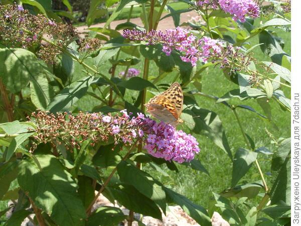 Буддлея – кустарник бабочек