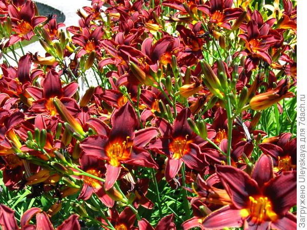 Цветут лилейники в июле