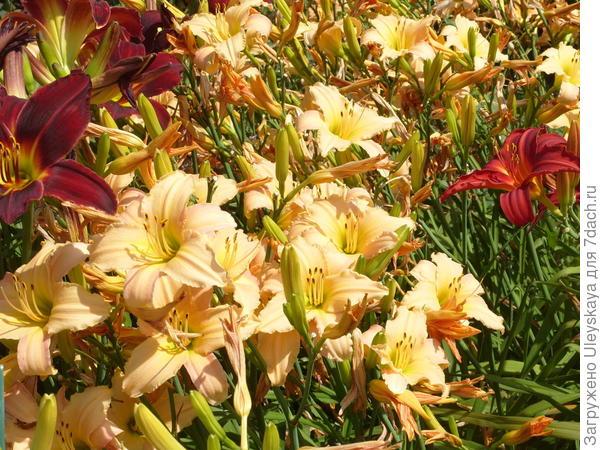 Лилейники – самодостаточные растения