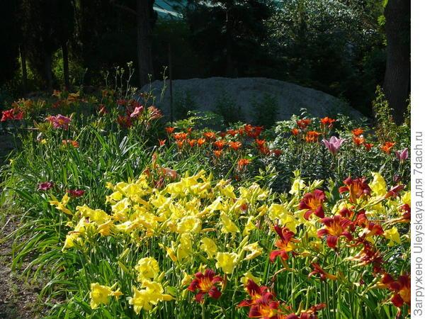 Многообразие лилейников