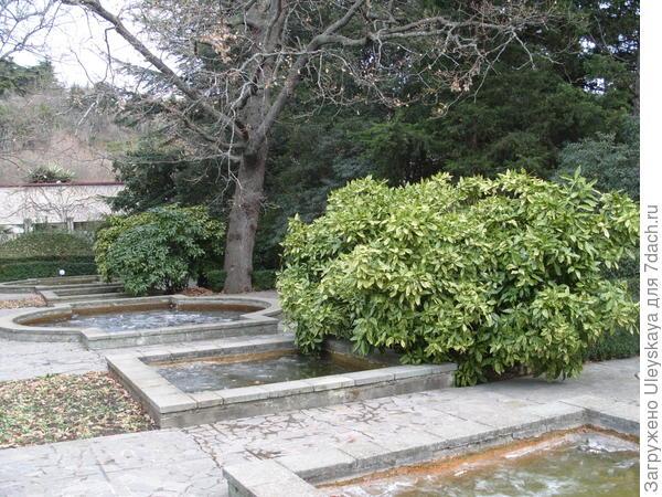 Аукуба японская пестролистная зимой в парке