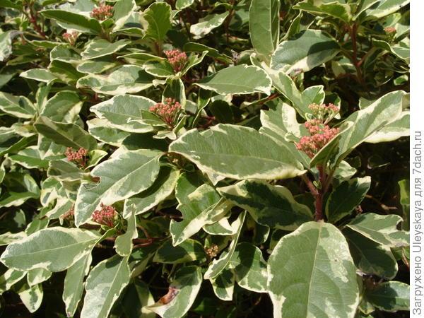 Калина вечнозеленая Пестролистная