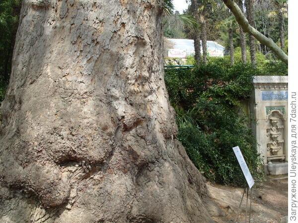 Платан восточный в Никитском ботаническом саду