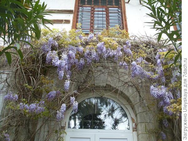 Цветет глициния китайская