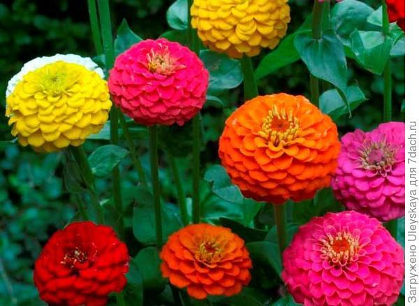 Цинния изящная сорт Лилипут, фото сайта flowerf.ru