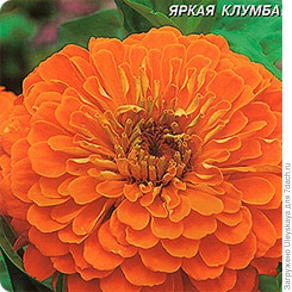 Цинния изящная сорт Оранжевый Король, фото с сайта flowerdot.ru