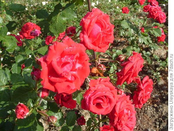 Роза флорибунда сорт Nina Weibull