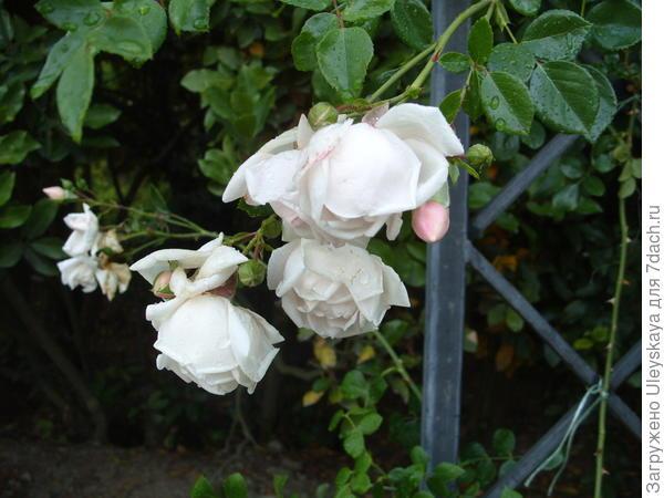 Роза сорт New Dawn